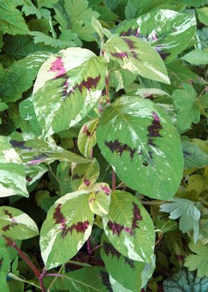 PERSICARIA VIRGINIANA Painter's Palette