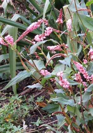 PERSICARIA 'Pink Elephant