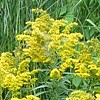 SOLIDAGO 'Golden Baby'