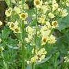 VERBASCUM CHAIXII Sixteen Candles